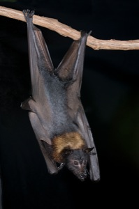 What have you lost for me lately? a Malayan Flying Fox!