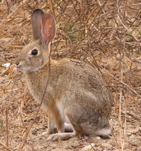 What have you lost for me lately?  3.5 lb. adult desert cottontail
