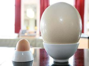 An ostrich egg (right) also weighs in at about 4 lbs.