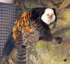 The white-fronted marmoset not only weighs 11 pounds, that face looks eerily familiar.