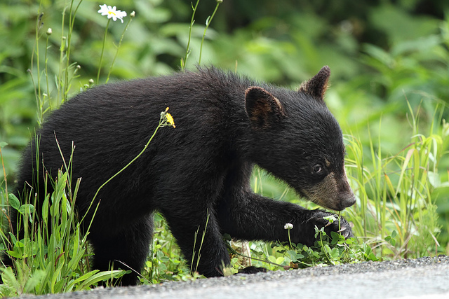 What have I lost? Four-month old black bear cub weighs 12 pounds.