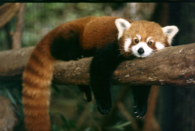 What have I lost? Male red panda weighs up to 14 lbs., and he knows how to relax!